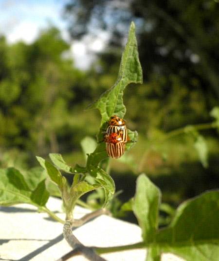 2 Käfer beim käfern...
